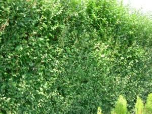 živý plot-Magazín Sluvko